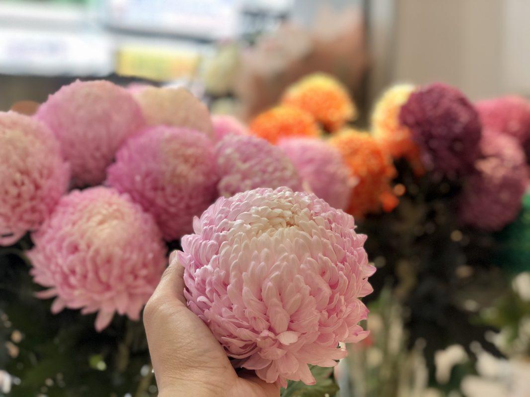 Hoa Cúc Mẫu Đơn Hồng Quyến Rũ
