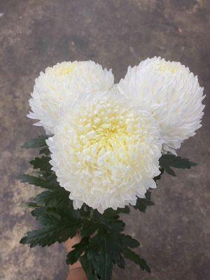 Hoa cúc mẫu đơn màu trắng