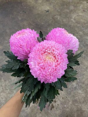 Hoa cúc mẫu đơn màu hồng