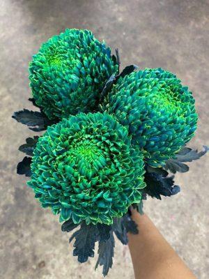 Hoa cúc mẫu đơn màu xanh